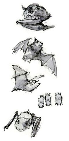 Bat sketches