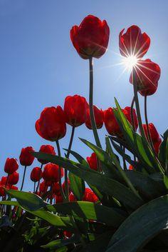 Red Sunlit Tulips