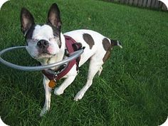 Various Cities in #Kentucky - #Adoptable #BostonTerrier. Meet Baxter Milton KY, a dog for adoption. http://www.adoptapet.com/pet/11634309-various-cities-in-the-entire-southeast-tennessee-boston-terrier