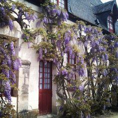 Wisteria (Glycine), Chateau de Chenonceau, Touraine Loire Valley, France, #IciVivreEstUnArt