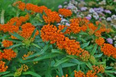 How to Grow Butterfly Weed (Asclepias Tuberosa)/ Trying to get this to grow.