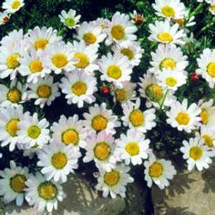 "'Mount Atlas Daisy':  Perennial, Zone 4-9, full sun, 4-5""H, blooms late spring to mid summer."
