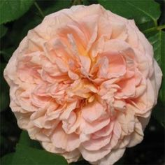 Top Quality Roses Abraham Darby Over 270 Varieties of Roses Abraham Darby, Landscaping With Roses, Shrub Roses, Blooming Trees, Shade Trees, Climbing Roses, English Roses, Trees And Shrubs, Clematis