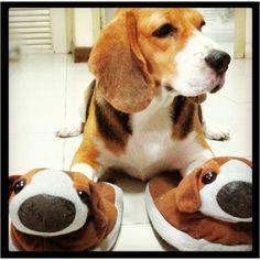 Someone bring me my beagle slippers!