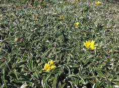 Dymondia : CLWA Turf Alternatives - This is one of those perfect plants --- it's hardy (you can walk on it) and it has this pretty silvery sheen. Perfect as a turf alternative.