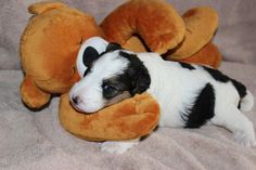 Baby Wire Fox Terrier ... :-)