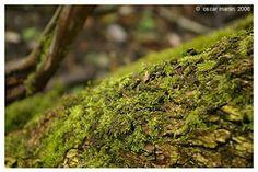 Las Briofitas Las briofitas, del latín bryophyta, derivado del griego brion, musgo, y fiton, planta, son plantas no vasculares y fueron las...