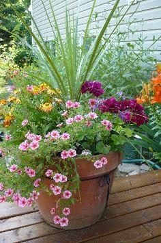 Claibrachoa, Lobelia, Verbena, Sundaze Flame & Ivy Geranium