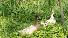 Ducks forage in the orchard understorey.
