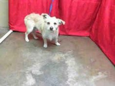 A441165 ***URGENT*** San Bernardino City Animal Control PUPPY! is an adoptable Jack Russell Terrier (Parson Russell Terrier) Dog in San Bernardino, CA. Will you save me? I would love to become part of...
