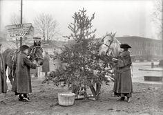 "December 1918 in Washington, D.C. ""Christmas dinner for horses."" That tree looks mighty tasty!"