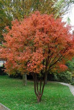 Gardening Autumn - Acer griseum - With the arrival of rains and falling temperatures autumn is a perfect opportunity to make new plantations Garden Shrubs, Garden Trees, Garden Plants, Garden Landscaping, Little Gardens, Small Gardens, Colorful Trees, Small Trees, Deciduous Trees
