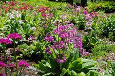 Primula x bulleesiana by a spring-fed stream. Winterthur Estate ~Wife, Mother, Gardener