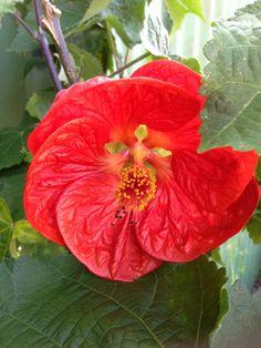 ABUTILON big red Mixed Border, Sun Perennials, How To Attract Birds, Evergreen Shrubs, Chinese Lanterns, Houseplant, Tropical Garden, Hedges, Trials