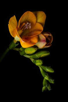 Quick To Build Moveable Greenhouse Options Yellow Freesia - I Love The Scent Of Freesias Exotic Flowers, Orange Flowers, Amazing Flowers, Beautiful Flowers, Flower Images, Flower Art, Freesia Flowers, Indoor Flowering Plants, Arte Floral