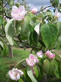 Quinces in blossom. Grown in Somerset, our Quince Cheese is the perfect addition to your cheeseboard #Tracklements #Quince #Flower #Cheese