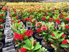 """A charming red of """"Euphorbia roses"""" is slowly melt your heart. This Euphorbia milii is easy to take care and easy to bloom.   More informations,  website: www.lanp-farm.com"""