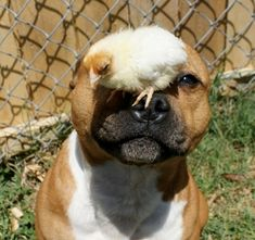 37 Pictures That Will Restore Your Faith In Pit Bulls – On his snout?? THE PATIENCE! #PitBull http://www.pindoggy.com/pin/9013/