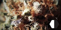 Thin Mint Girl Scout Cookies: This Chill Hybrid Will Knock Out...