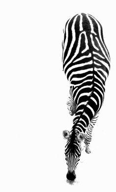 Beautiful zebra stripes!