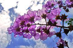 大花紫薇  手機隨拍 Mobile Photography by +frank hgs  #Flowers #花 #大花紫薇 #Sky #天空 #Clouds #雲 #MobilePhotography...