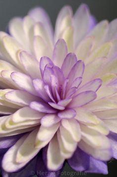Hepatica japonica 'Murasaki Shikibu'