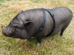 My friend, Ms Penelope, the star of Gumboots. You gotta love those little pot-bellied pigs.