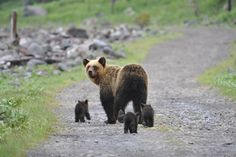 Hokkaido Brown Bear (Ursus arctos yesoensis)エゾヒグマ