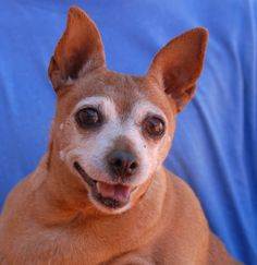 This morning we told 10-year-old Poochie that he soon will finally know what a responsible and loving home feels like, and he broke out this smile and his eyes filled with hope.  He is a Miniature Pinscher, neutered boy, debuting for adoption today at Nevada SPCA (www.nevadaspca.org).  Poochie likes calm dogs, but won't tolerate dogs who try to dominate him.  He was at another shelter that asked for our help due to his obesity and dental decay.  We had dental care provided for Poochie and he…