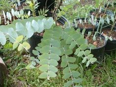 Eucalyptus - Top 10 NASA Approved Houseplants for Improving Indoor Air Quality