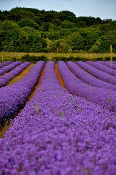 Norfolk Lavender Fields near Heacham, England