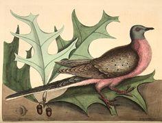 Mark Catesby    Pigeon of Passage  Audubon's Muse