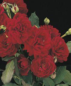 All Ablaze Climbing Rose Plant