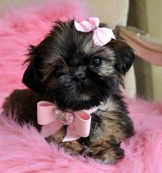 Imperial Shih Tzu. While I have great reservations about the Imperial Shih Tzu in general, this is an adorable puppy!