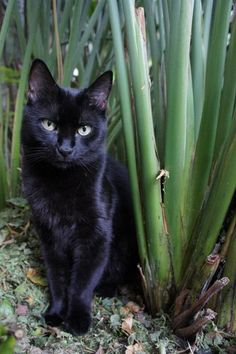 Beautiful Black Cats (=`ェ´=) Ferocious Garden Panther by Melissa Sumner on Tumblr