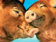 Images Of Pigs Kind of Love | Wild Domestic Animals Look Stories and Photos