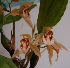 Stenorrhynchos Speciosum Orchids | Orchids forum: Happy New Year- our Orchid blooms in January 2012 (All ...