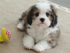 Cavachon hybrid dogs Cavachons are the first cross between the Wonderful Cavalier King Charles Spaniel and the Bubbly Luxurious Bichon Frise Puppies And Kitties, Cute Puppies, Pet Dogs, Dog Cat, Doggies, Animals And Pets, Baby Animals, Cute Animals, Cavachon Puppies