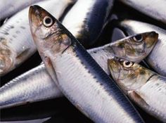 atlantic-herring
