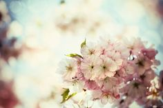 Vintage Photo of White Cherry Tree Flowers in Spring Stretched Canvas Print by Petr Jilek at Art.com