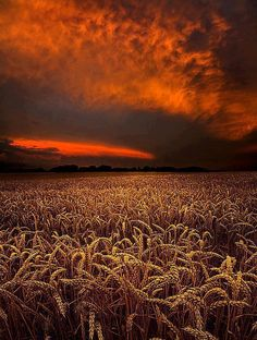 *Wheat fields ready for harvest. The wheat has bowed heads, the tares do not.