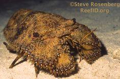 The Sculptured Slipper Lobster - Scuba Diver Life
