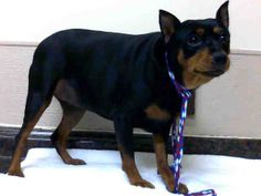 BELLA - ID#A755588  My name is BELLA.  I am a spayed female, black and brown Miniature Pinscher.  The shelter staff think I am about 3 years...