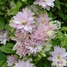 Clematis and other garden plants from 9 times RHS Chelsea Winners. Mature, hardy and garden ready. Clematis Flower, Clematis Vine, Butterfly Garden Plants, Planting Flowers, Fruit Garden, Bloom, Love Garden, Dream Garden, Garden Bulbs