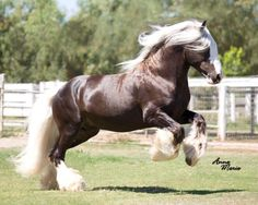 Draft horse running - St Clarins is a chocolate silver dapple Gypsy Cob stallion