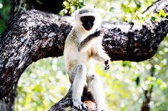 Monkey see, Monkey do, Monkey steal the sugar too :) #monkey #kruger #naughty