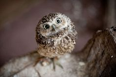 Image viaAn owl knows all the secrets of the forest, but tells them in a voice we cannot understand.Image viaBaby Owl Pictures: Photos of Cute Animals, Young OwlsImage Baby Owls, Cute Baby Animals, Animals And Pets, Funny Animals, Owl Babies, Funny Owls, Beautiful Owl, Animals Beautiful, Owl Pictures