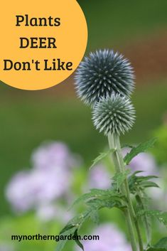 "To avoid damage to your garden, choose plants deer don""t like, such as ferns, fuzzy lamb's ears and beebalm. Deer also avoid many shrubs and trees. Shade Garden, Garden Plants, Cold Climate Gardening, Sweet Woodruff, Short Fence, Wild Ginger, Deer Resistant Plants, Ornamental Grasses, Salvia"