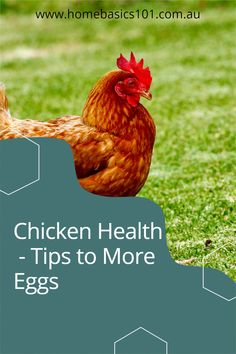 For all you tips to keeping the girls happy and healthy head over to our website its chooks full of tips Farm Fun, Farm Animals, Your Pet, Health Tips, Chicken, Website, Pets, Friends, Healthy