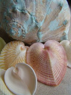 Rare Types of Seashells | ... Cardissa/ Seashells/ Set of 3/ Natural Rare Colors - product images of